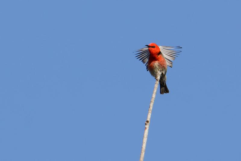 Scarlet Honeyeater (Myzomela sanguinolenta)