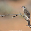 Spiny-cheeked Honeyeater