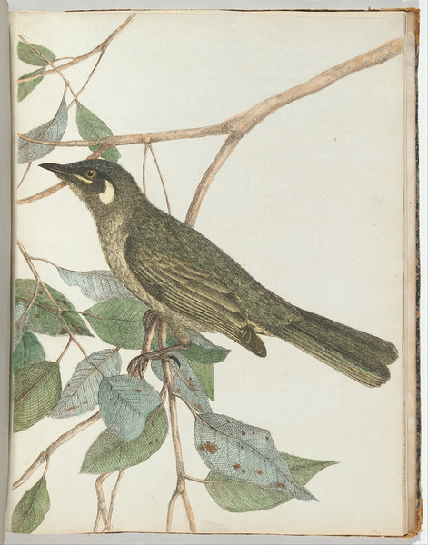 Yellow ear honeysucker.Lewin, John. Birds of New South Wales with their natural history. Sydney: G. Howe, 1813