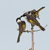 White-cheeked Honeyeaters (Phylidonyris nigra)