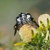 White-cheeked Honeyeaters (Phylidonyris nigra)