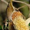 Brown Honeyeater (Lichmera indistincta)