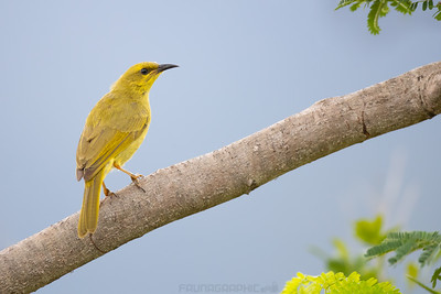 Yellow Honeyeater