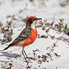 Crimson Chat (Epthianura tricolor)