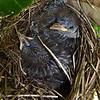 Little Wattlebird  chicks (Anthochaera chrysoptera)
