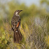 Little wattlebird (Anthochaera chrysoptera)