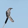 Little wattlebird (Anthochaera chrysoptera)