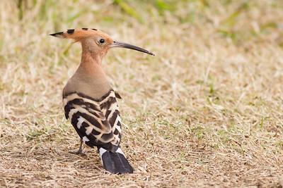 Eurasian Hoopoe - Aswan, Egypt