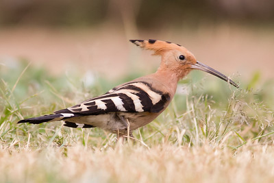 Eurasian Hoopoe - The Citadel - Cairo, Egypt