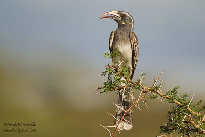 African Grey Hornbill -  Female - Lake Manyara National Park, Tanzania