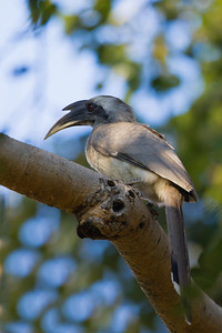 Indian Gray Hornbill - Record - Ambazari Garden, Nagpur, India