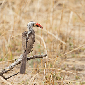 Red-billed Hornbill - Female - Tarangire National Park, Tanzania
