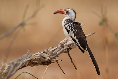Red-billed Hornbill - Tarangire National Park, Tanzania