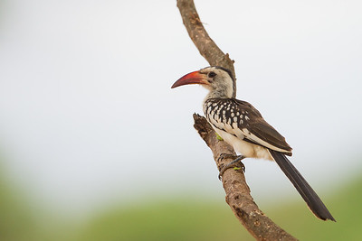 Red-billed Hornbill - Male - Tarangire National Park, Tanzania