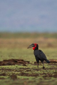 Southern Ground Hornbill - Lake Manyara National Park, Tanzania