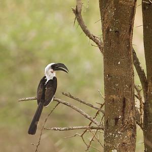 Von der Decken's Hornbill - Male - Tarangire National Park, Tanzania