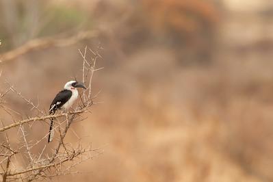 Von der Decken's Hornbill - Female - Tarangire National Park, Tanzania