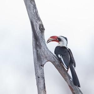 Red-billed Hornbill - Female - Tarangire National Park, Tanzania