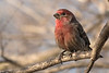 3-30-14 House Finch 1