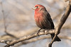 3-30-14 House Finch 3