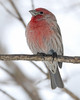 1-26-14 House Finch 10