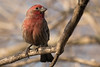 3-30-14 House Finch 2