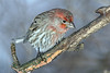1-26-14 House Finch 15