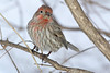 1-26-14 House Finch 14