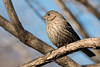 3-30-14 House Finch 4
