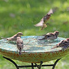 The Waltons, our House Finch family, enjoy swimming together at the resort!
