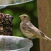 House Finch<br /> 22 JUN 2010