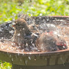 Della and Opie, our female and male House Finches, taking a bird bath in a clay pot bird bath.  ***Take a clay pot normally used for plants or flowers and glue the clay water catcher to the bottom of the clay pot.  You have an instant and affordable birdbath!  Plus, the birds love it!