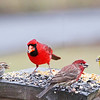 Left to Right:  Chipping Sparrow, Northern Cardinal, House Finch & American Goldfinch