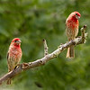 House Finches (Male)