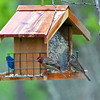 """Left to Right:<br /> Entitled """"Diversity at the Bird Feeder""""<br /> Charlie Blue, the male Indigo Bunting, Fabio the male House Finch (Male) and Taco, the Chipping Sparrow"""