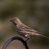 Female House Finch, Marion County Missouri