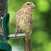 House Finch<br /> 12 AUG 2010