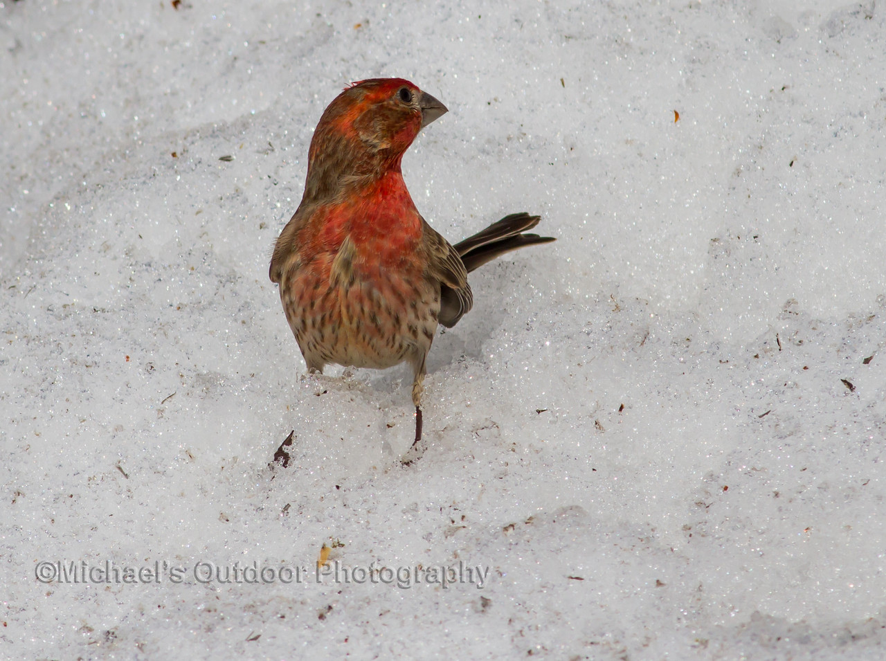 Male House Finch. Marion County Missouri