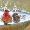 Fabio and Fiona, our male and female House Finches, need an Egyptian cotton towel after the invigorating bath.