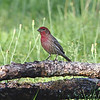 House Finch (Male) - formerly known as the Hollywood Finch