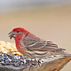 Pablo, the male House Finch, is enjoying the black oil sunflower!