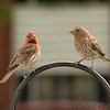 Male & Female House Finches