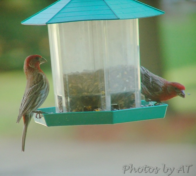 House Finches <br /> Bridgeton, Mo<br /> 2004-06-19<br /> <br /> No. 11 on my Lifetime List of Bird Species <br /> Photographed in Missouri