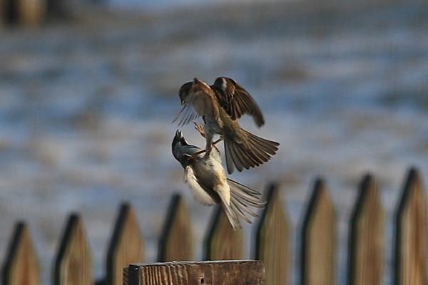 House Sparrows (or HOSP)