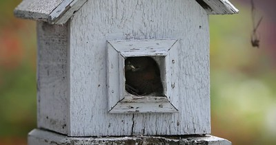 House Wren Kids