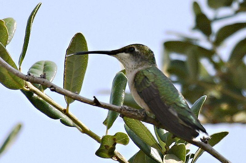 Ruby-throated Hummingbird @ Lynnhaven Inlet, Virginia Beach, VA - August 2005