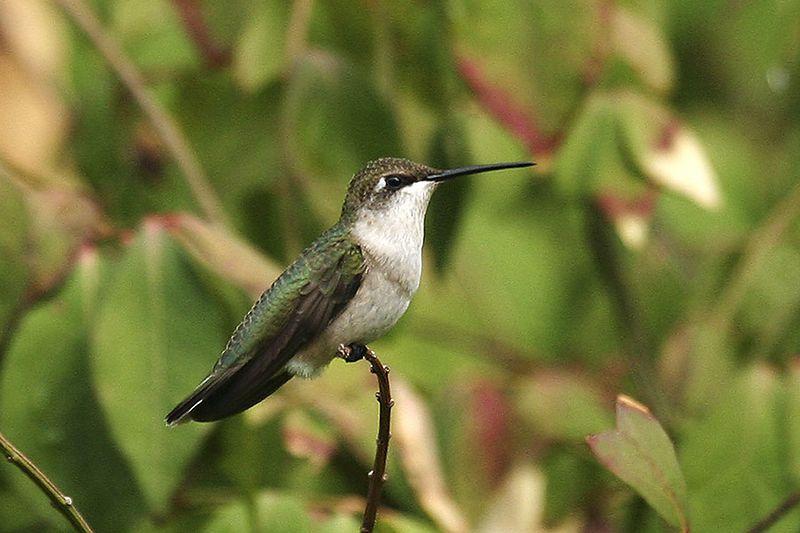 Ruby-throated Hummingbird - Backyard, August 2005