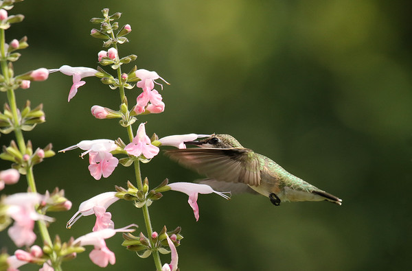 Hummingbird on Coral Nymph Salvia