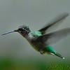 Ruby-throated Hummingbirds  <br /> City of Bridgeton <br /> St. Louis County, Missouri <br /> 2003-08-30