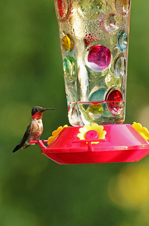 Male Hummingbird on Levis Feeder
